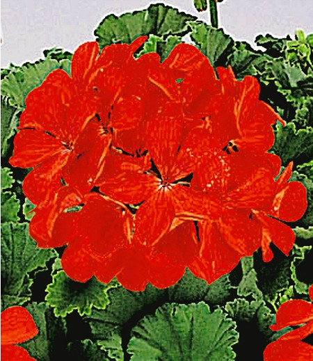 "Tiroler Hänge-Geranien ""Feuerrot"", 3 Pflanzen Pelargonium peltatum"