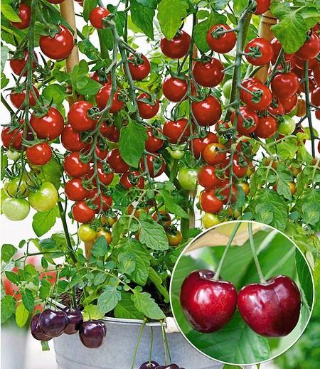 Tomate Tutti Frutti Kirsche 1Pflanze Schmeckt nach Kirsche