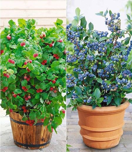 """Topf-Heidelbeere """"Blue Parfait®"""" & Topf-Himbeere """"BonBonBerry®"""""""