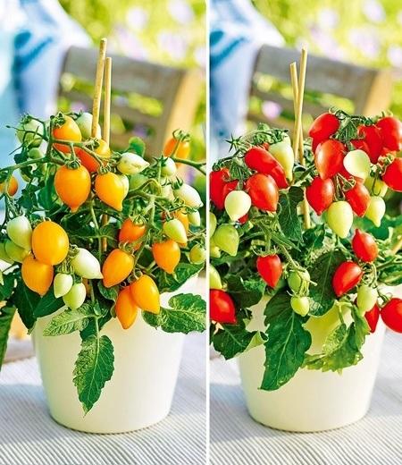 """Topf-Tomaten """"Funnyplums®"""" F1 Kollektion,4 Pflanzen"""