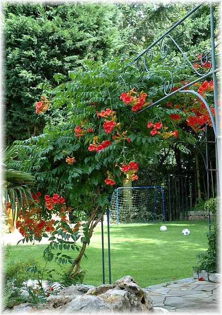 trompetenblume campsis radicans g nstig online kaufen mein sch ner garten shop. Black Bedroom Furniture Sets. Home Design Ideas