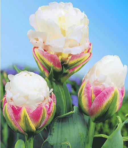 "Tulpe ""Ice Cream®"",3 St."