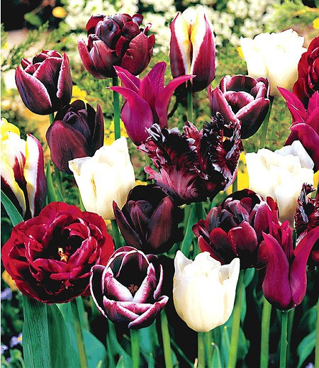 "Tulpen-Mix ""Perfect Partners®"" ""Black Blend"",10 Zwiebeln"
