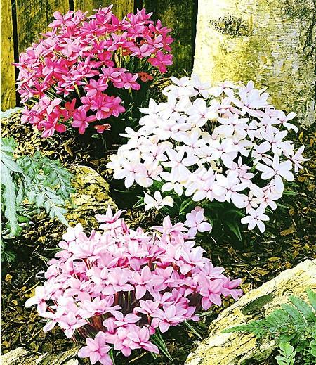 Twinkle Star®,3 Pflanzen