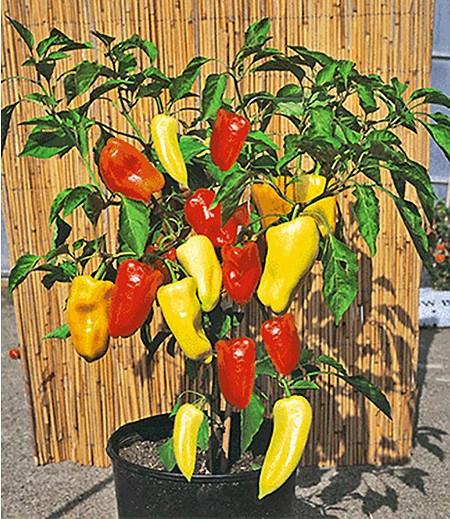 """Ungarischer Paprika """"Gypsy"""" F1,2 Pflanzen Paprikapflanzen"""