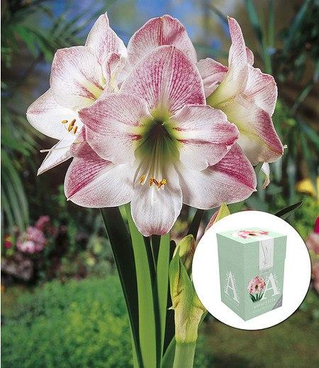 """Ungefüllte Amaryllis """"Apple Blossom"""" mit Geschenkbox,1 Zwiebel"""