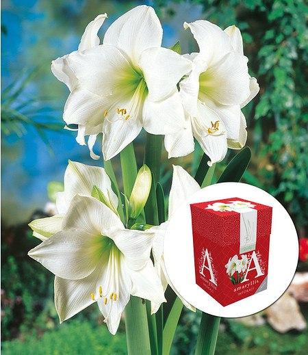"""Ungefüllte Amaryllis """"Weiße Intokazi"""" mit Geschenkbox,1 Zwiebel"""