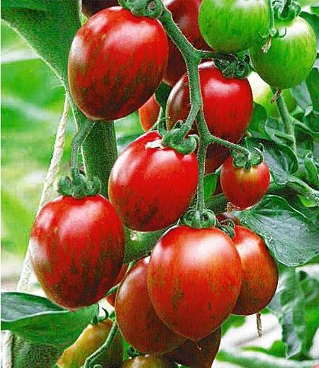 """Veredelte gestreifte Cocktail-Tomate """"Cookie"""" F1,2 Pflanzen"""