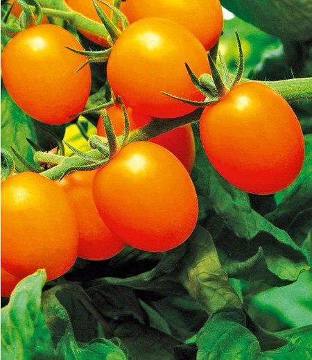 "Veredelte goldgelbe Cocktail-Tomate ""Star Gold"" F1,2 Pflanzen"