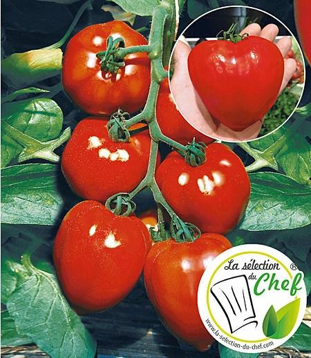 """Veredelte Herz-Tomate """"Fleurette"""" F1,2 Pflanze Tomatenpflanze"""