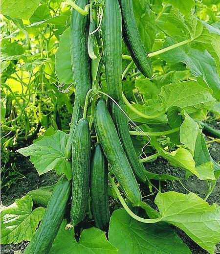 "Veredelte Salatgurke ""Phönix®"",2 Pflanzen Gurkenpflanze Salatgurke"