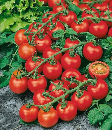 "Veredelte Strauch-Tomate ""Sparta"" F1,2 Pflanzen Tomatenpflanze"