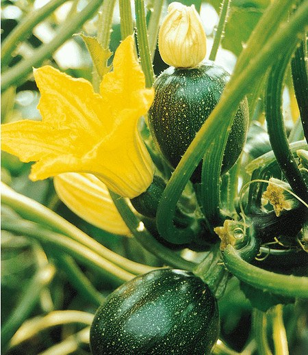 """Veredelte Zucchini """"Eight Ball"""" F1,2 Pflanzen Cucurbita pepo"""
