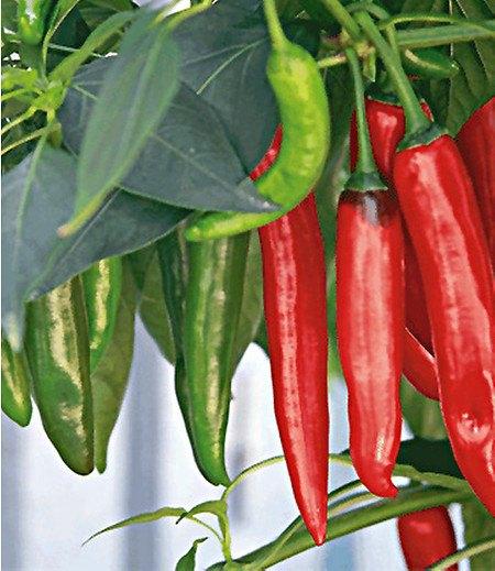 """Veredelter Chili """"De Cayenne"""",2 Pflanzen Chillipflanzen scharf"""