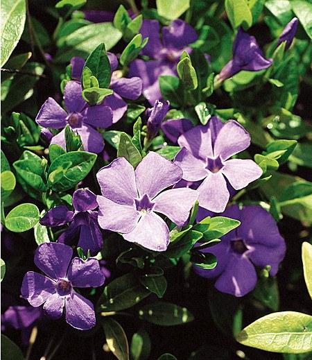 """Vinca minor """"Blau"""",3 Pflanzen"""
