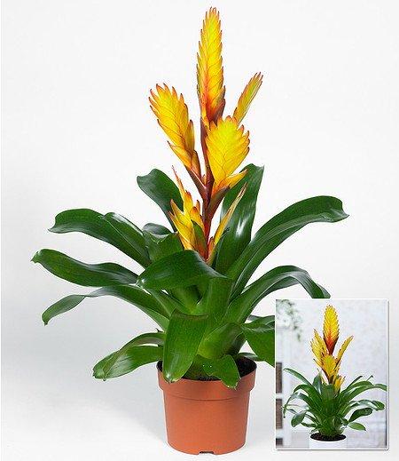 """Vriesea """"Gelb"""",1 Pflanze"""