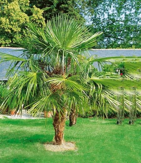 Washingtonpalme,1 Pflanze