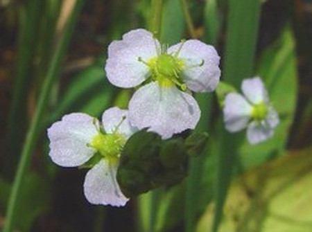 Wasserpflanze Froschlöffel