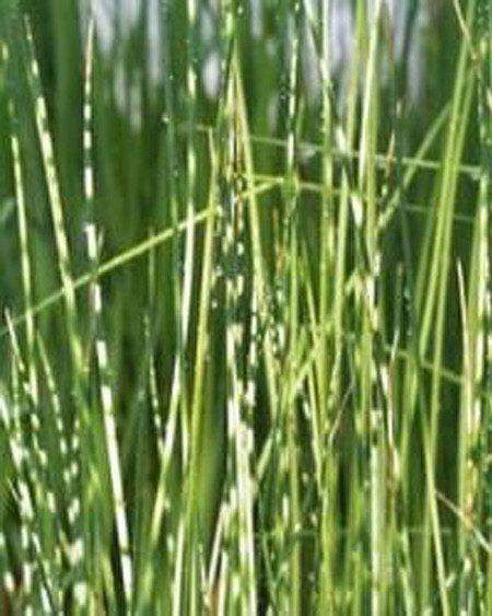 Wasserpflanze Simse,Zebrasimse 'Zebrinus'