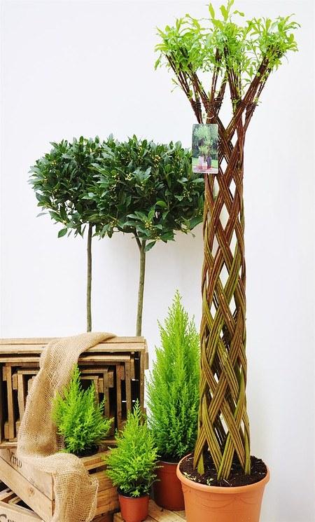 Weide 4-fach geflochten (dunkel) Säule XL - Salix fragilis