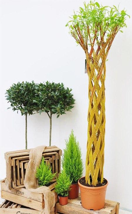 Weide 4-fach geflochten (hell) Säule XXL - Salix alba