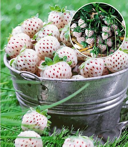 """Weiße Ananas-Erdbeere """"Natural White"""",3 Pfl. & 1 Pfl. Senga Sengana"""