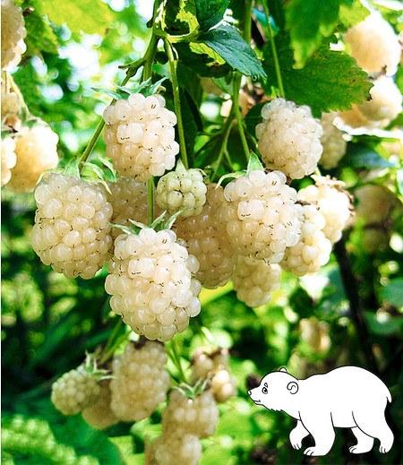 """Weiße Brombeere """"Polar Berry®"""",1 Pflanze"""