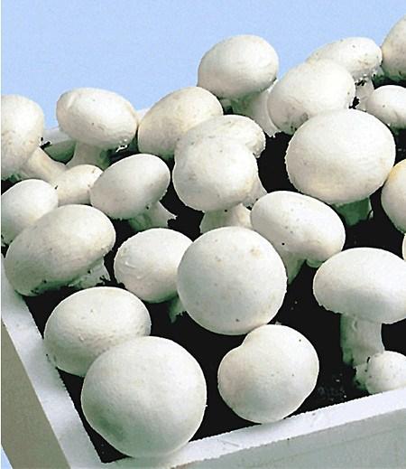 Weiße Edel-Champignons (Kulturset),1 Set