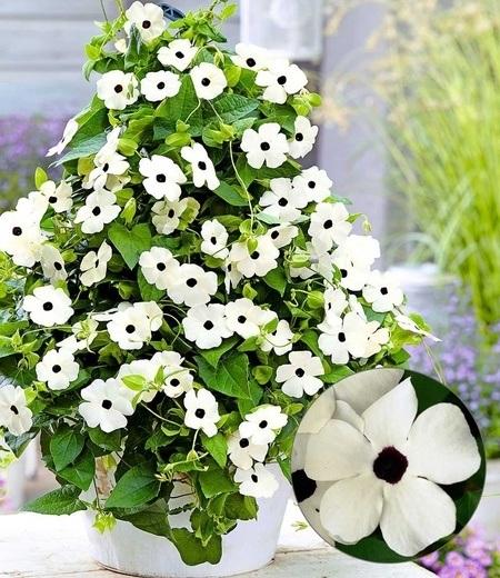 """Weiße Thunbergia """"White Halo"""",2 Pflanzen"""