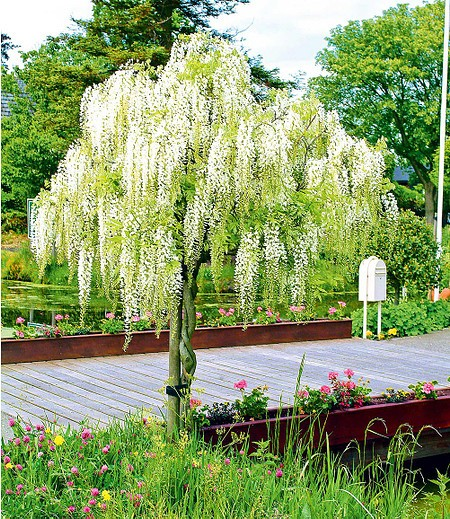 """Weißes Blauregen-Stämmchen """"Alba"""",1 Pflanze"""