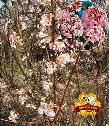 "Winter-Schneeball ""Charles Lamont"",1 Pflanze"