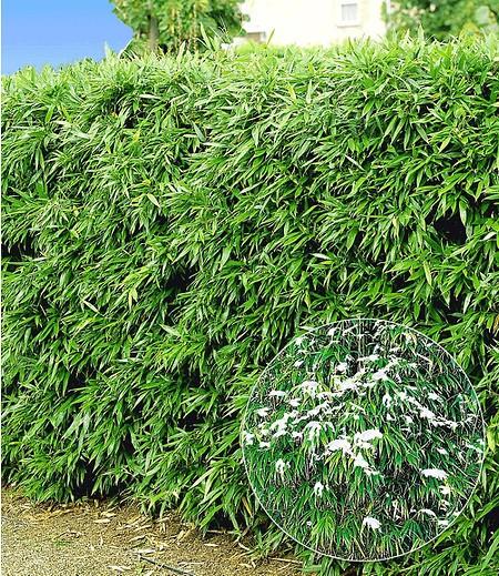 Winterharte Bambus-Hecke,5 Pflanzen