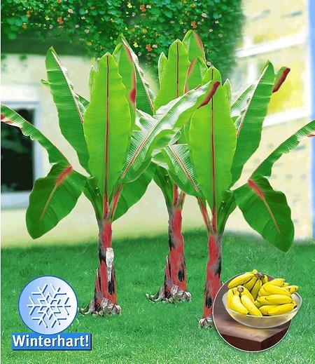 "Winterharte Banane ""rot"",1 Pflanze"