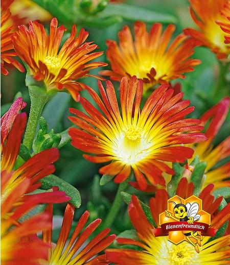 """Winterharte Eisblume """"Fire Wonder"""",3 Pflanzen"""