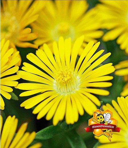 """Winterharte Eisblume """"Golden Wonder"""",3 Pflanzen"""