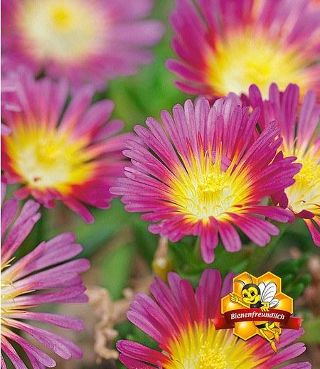 """Winterharte Eisblume """"Hot Pink Wonder"""",3 Pflanzen"""