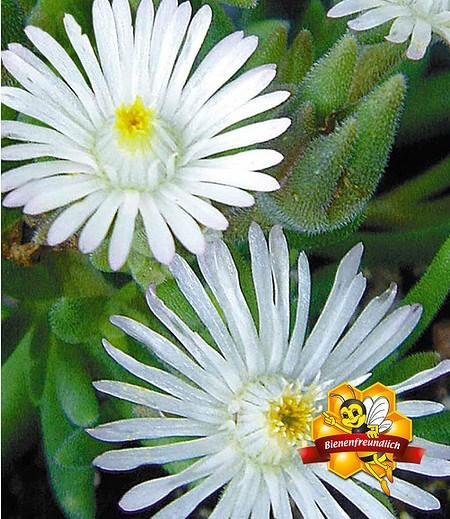 """Winterharte Eisblume """"White Wonder"""",3 Pflanzen"""