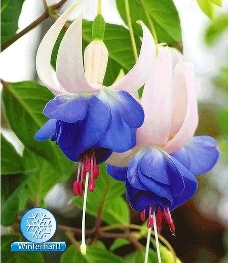 """Winterharte Fuchsie """"Blue Sarah"""",3 Pflanzen"""
