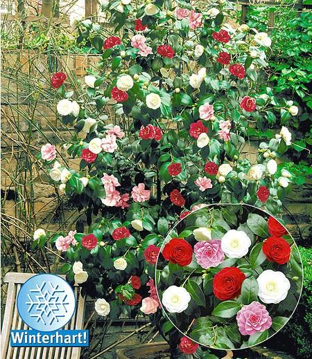 """Winterharte Garten-Kamelie """"Tricolor"""",1 Pflanze"""