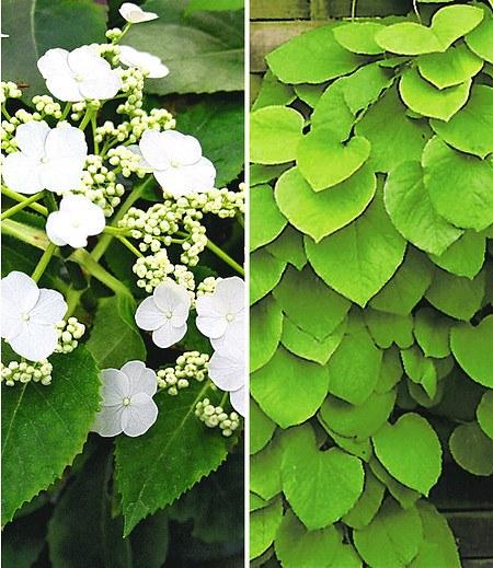 Winterharte Kletterpflanzen winterharte kletterpflanzen kollektion 2 containerpflanzen günstig