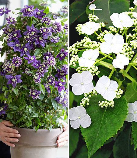 Winterharte Kletterpflanzen-Kollektion,2 Containerpflanzen