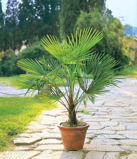Winterharte Kübel-Palme im 19 cm Topf,1 Pflanze