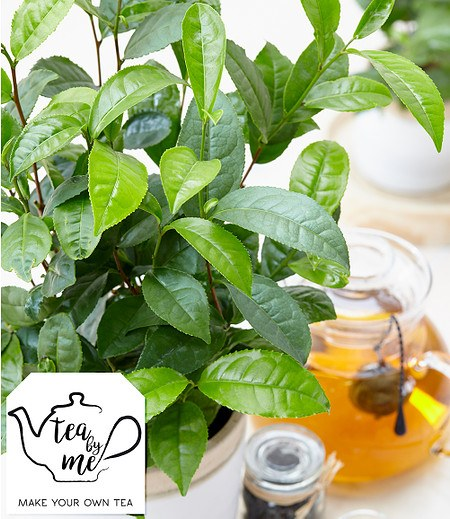 "Winterharte Teepflanze ""Tea byme®"",1 Pflanze"