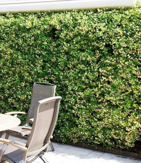 Winterharter Jasmin Star of Toscane®,1 Pflanze