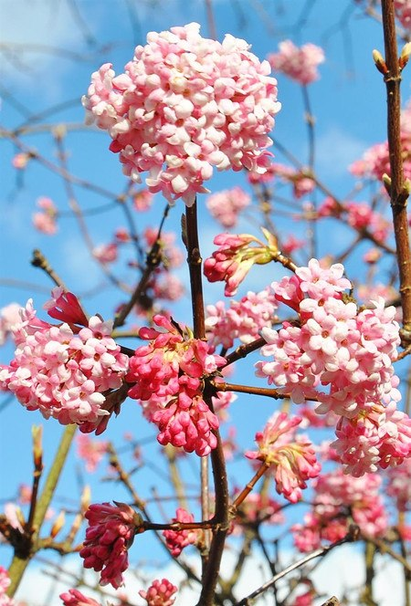 Winterschneeball (Dawn) - Viburnum bodnantense Dawn