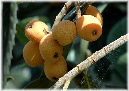 Wollmispel, Nespoli, Loquat Eriobotrya japonica veredelt