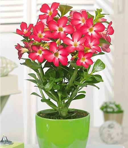 """Wüsten-Rose """"Rot"""",1 Pflanze"""