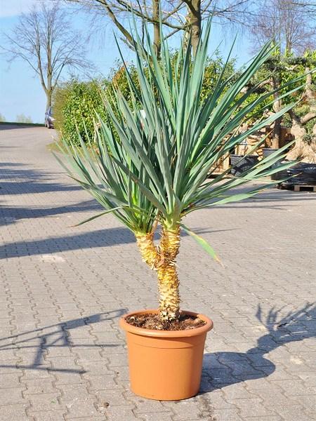 Yucca (Kerzen-Palmlilie) - Yucca gloriosa