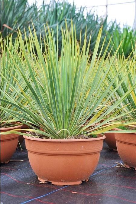 Yucca thompsoniana - Yucca thompsoniana