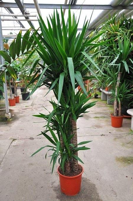 Yuccapalme (Riesen-Palmlilie) 4er - Yucca elephantipes